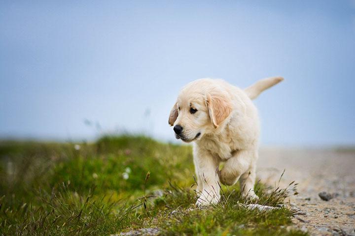怎样训练金毛幼犬?你不知道的死角?