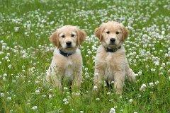 犬窝咳是什么?有什么症状?怎么治疗?