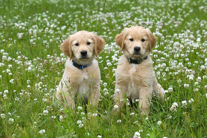 常用的狗狗配种方法有哪些?