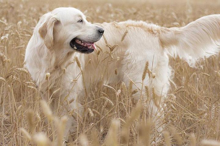 为什么金毛会乱咬泥沙和野草?