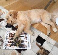 三个月内的金毛幼犬不建议外出