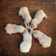 """金毛幼犬的训练之""""咬住""""""""拿来""""和""""伏地"""""""