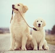 老年金毛犬的护理方法和技巧