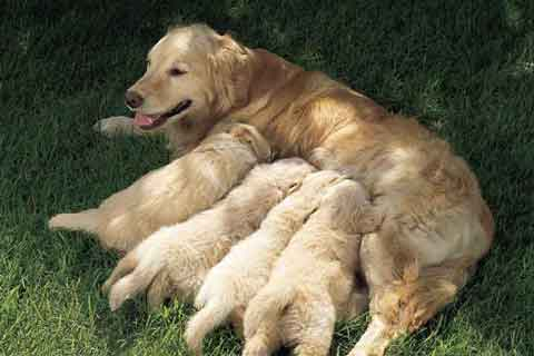 看这十个部位教你怎么挑选金毛幼犬