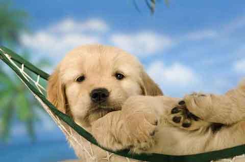 金毛犬的特点排名