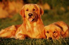 犬传染性肝炎