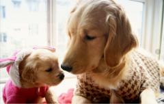 金毛犬的喂养常识:水和蛋白质
