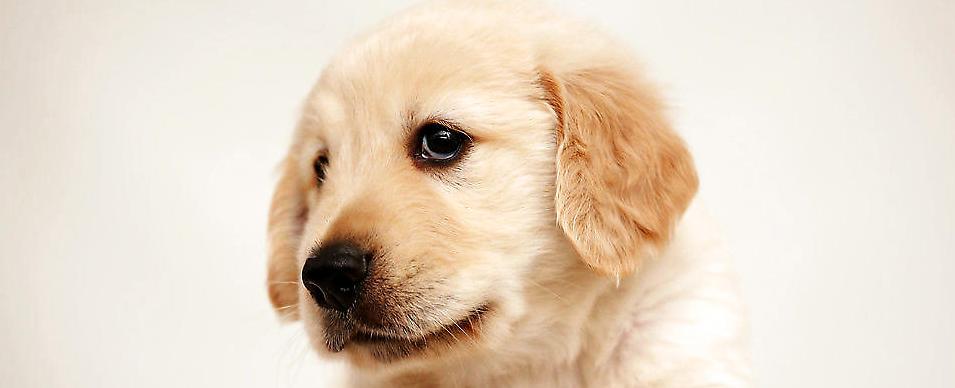 母犬生殖生理